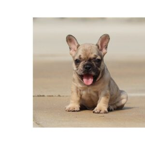 FAWN - French Bulldog puppy