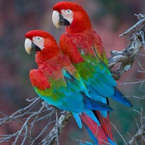 Green Wing Macaws