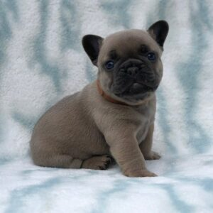 Kassey - French Bulldog puppy