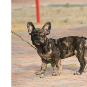 Merle - French Bulldog puppy