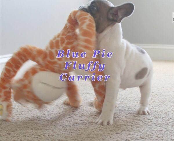 Ryane - French Bulldog puppy
