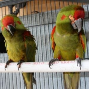 Red Front Macaws