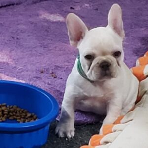 HYDE - French Bulldog puppy