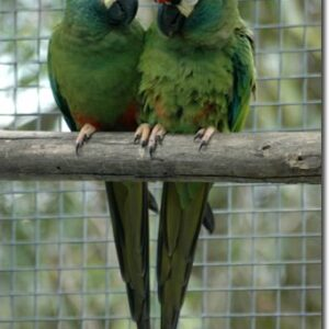 illiger's Macaws