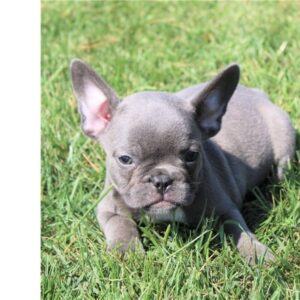 Myth - French Bulldog puppy