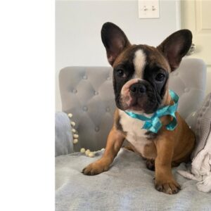 Spiffy - French Bulldog puppy