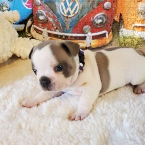 Whity- French Bulldog puppy