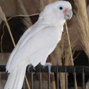Bare Eyed Cockatoos