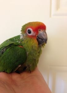 Gold Capped Conures