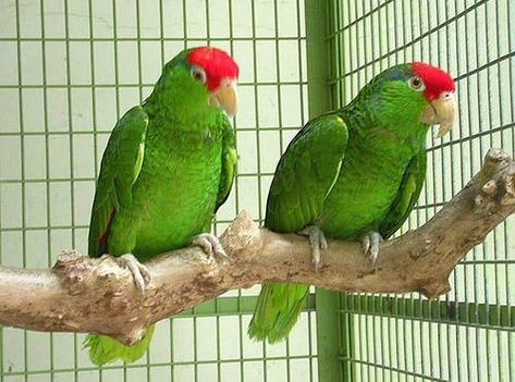 Mexican Red-Headed Amazons