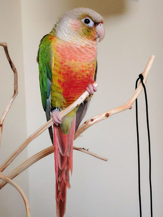 Red Pineapple Conures