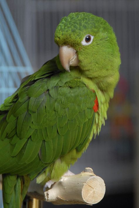 White Eyed Conures
